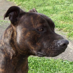 Staffordshire Bull Terrier photo