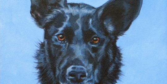 Pet portrait of a Kelpie
