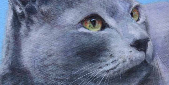 Russian Blue cat portrait