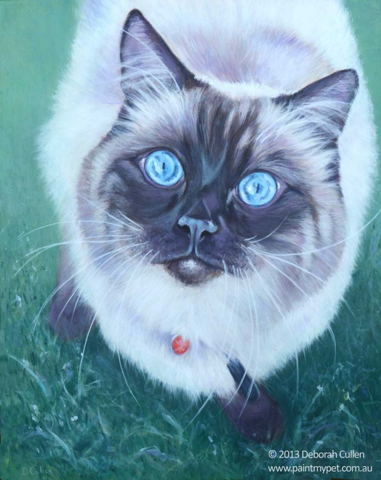 Ragdoll cat portrait
