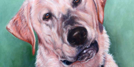 Golden Labrador pet portrait