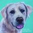 Golden Labrador dog portrait