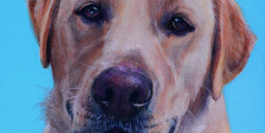 Golden Labrador dog portrait