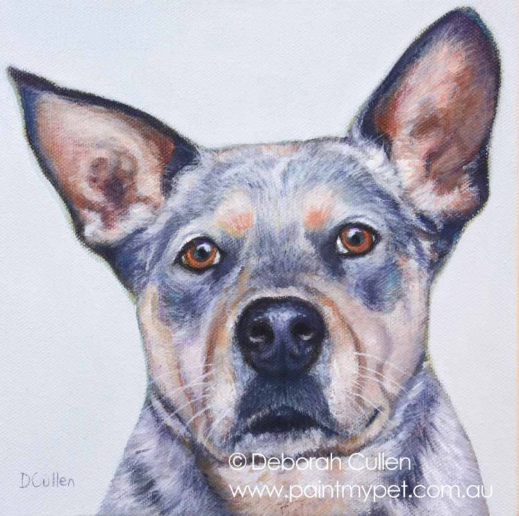 Blue Heeler pet portrait