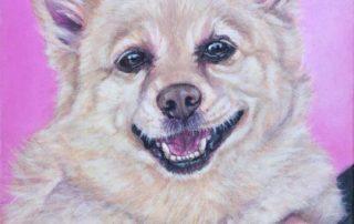 Golden Shipperke dog portrait