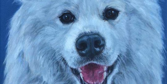 Dog Portrait of a white Samoyed