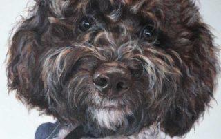 Pet Portrait of a Logotto Romagnolo