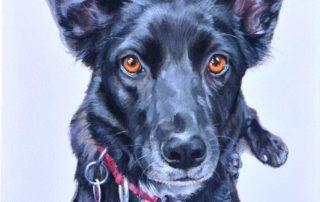 Portrait of a Kelpie x Border Collie dog